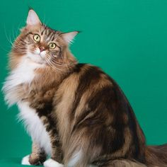 Highlander Cat - http://catbreedsinformation.com/highlander-cat/ For people that are looking for a medium sized, long coated cat breed, this is the cat for them. The Highlander Cat is a popular cat breed originally from America.Highlander Cat owners have really enjoyed their time with this feline companion and noted that they are loving and social.Owners can expect to spend many years with their Highlander Cat. They are said to live between 10 and 15 years!If you think this