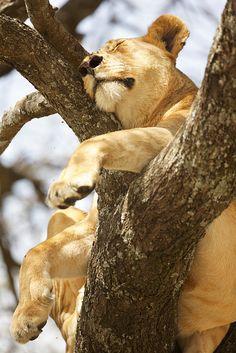 """Lazy Lion"" - photo by Shaadi Faris, via Flickr"