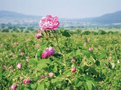 Field of roses in Bulgaria. In aromatherapy, the rose is used for its relaxant and de-stressing properties in tense muscles caused by nervous complaints, disturbed sleep or to lighten the mood in depression.