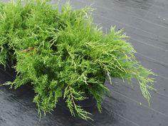 Tarhakataja Mint Julep - Pinsiön taimiston tuoteluettelo Mint, Herbs, Herb, Peppermint, Medicinal Plants
