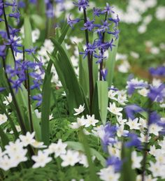 Plant a few of these in your garden - different colours and varieties - they'll grow happily anywhere, increasing gradually from year to year.