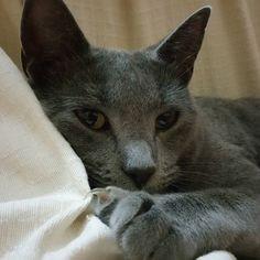 #Buffy  tiene frío. #korat #cats_of_instagram #gatos