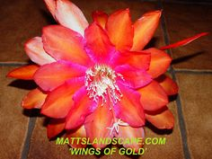 Epiphyllum hybrid 'Wings Of Gold'