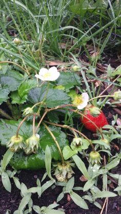 my first strawberry ever grown Strawberry, Vans, Van, Strawberry Fruit, Strawberries, Strawberry Plant