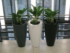 3 x Eclipse pots painted with colours to match the surrounds and planted with Aglaonema plants in a recent Durban office installation.
