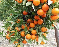 Fruit Plants, Fruit Trees, Citrus Trees, Como Plantar Banana, Apple Tree From Seed, Lemon Farm, Fruit Bearing Trees, California Backyard, Backyard Trees