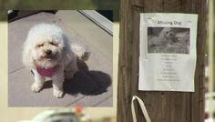 Un perro perdido oyó a su familia en televisión y por eso pudo volver a su hogar. Tabitha había desaparecido junto a su humano con…
