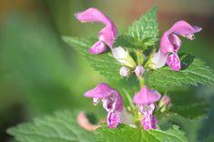 Jasnota purpurowa (Lamium purpureum) to piękna i powszechna roślina. Jej liście przypominają pokrzywę ale nie parzą - stąd ludowa nazwa głucha pokrzywa. Podobieństwo kończy się na liściach - kwiaty jasnoty Begonia, Weed, Flora, Herbs, Health, Garden, Plants, Hibiscus, Garten