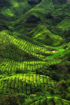 Tea Plantation, Munnar, Kerala, India