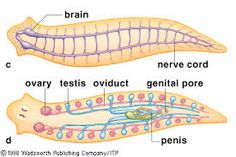 Phylum platyhelminthes diagram phylum platyhelminthes digestive and nervous system phylum platyhelminthes diagram see more image result for planarian ccuart Choice Image