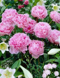 Bulb Flowers, Pink Flowers, Colorful Flowers, Pink Roses, Planting Bulbs, Planting Flowers, Flower Gardening, Flowers To Plant, Gardens