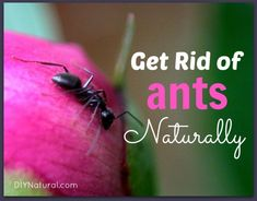 When an army of ants decides to take over don't fret - naturally give them the boot with these tips!