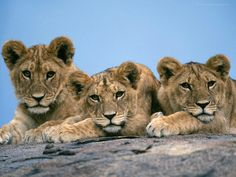 African Lion Cubs Resting On Rock Africa Lion Live Wallpaper, Cubs Wallpaper, Animal Wallpaper, Ocelot, Animals And Pets, Baby Animals, Cute Animals, Pumas, Lynx