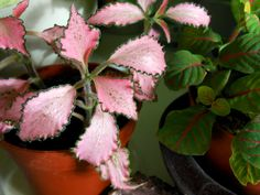Fittonia 'Frankie' & Fittonia 'Fortissimo' Leaf Flowers, White Flowers, Find My Photos, Aquatic Insects, Platycerium, Variegated Plants, Old Trees, Foliage Plants, Planted Aquarium