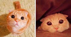 Avec ses allures de peluche, c'est depuis le Japon que Muta le chat roux fait craquer tous les internautes. Et ce n'est pas étonnant tant sa ressemblance avec Le Chat, ami de Shrek, est frappante…