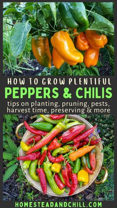 Learn how to grow plentiful peppers (or chilis) with these tips on starting from seed, pruning, planting, pests, harvest time, seed-saving, and more. Don't miss our favorite tasty ways to use and preserve peppers too! #peppers #chilis #gardentips #gardening Indoor Vegetable Gardening, Vegetable Garden Planning, Vegetable Garden For Beginners, Gardening For Beginners, Container Gardening, Gardening Tips, Diy Garden Projects, Harvest Time, Easy Garden