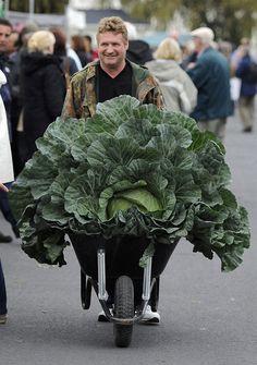 Grower Derek Neumann arrives with his award winning giant cabbage at the Harrogate Autumn Flower Show in Harrogate, northern England. (Reuters)