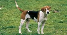 English Foxhound: The foxhound was developed by an intelligent mixing of various hounds subsequently carefully bred with the greyhound, the bulldog, and the fox terrier. From these latter breeds the foxhound inherited respectively its sudden spurts of