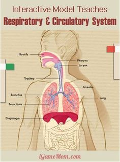 An interactive app teaching kids the circulatory and respiratory systems. Kids learn about human body hands on through dynamic interactive features. Science Classroom, Teaching Science, Science Education, Science For Kids, Science Activities, Kids Education, Teaching Kids, Kids Learning, Health Education
