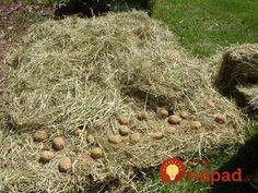 Bohatá úroda zemiakov bez roboty: Gazda z Telgártu ukázal, ako pestovať zemiaky bez orania, okopávania a zberania mandelínok! Planters, Pumpkin, Outdoor, Jar, Gardening, Belle, Outdoors, Pumpkins, Lawn And Garden