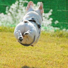 Finally I can fly Follow @mycutestfrenchie for more Tell your friends by @alfredchama Tag #mycutestfrenchie in your posts for chance to be featured! . . . . . . #frenchy #frenchiephotos #bullybreeds #frenchbulldogsofinstagram #frenchiesofig #frenchiesofinstagram #鼻ぺちゃ #bullynation #sillydog #フレブル #bullygram #bullieslife #bullyinstafeature #ilovemyfrenchie #bulldogpuppy #bulldog_ig_community #bullylifetv #bullies #bulldoglove #frenchbull #french_bulldogs #frogdog #frenchies1 #bullyinstagram…