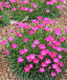 Impossible-to-Kill Outdoor Plants - beautiful.beautiful flowers and nature Impossible-to-Kill Outdoor Plants - beautiful.beautiful flowers and nature - Flowers Perennials, Planting Flowers, Flowers Garden, Perrenial Flowers, Partial Shade Perennials, Dianthus Flowers, Full Sun Perennials, Full Sun Plants, Ornamental Grasses