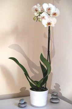 Orquídea ♥ Orchid