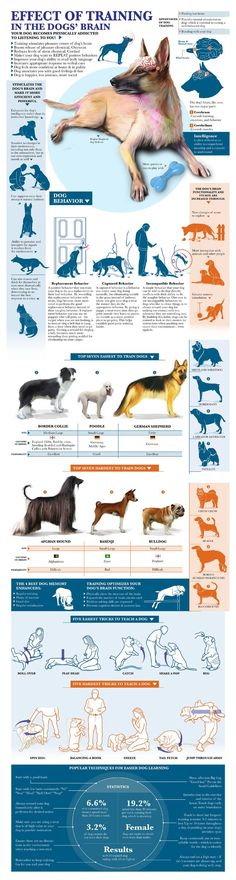 Effect Of Training In The Dog Brain - Infographic. Training in dogs is extremely important to their overall behavior. It's important to start disciplining and teaching your dog to listen when they are young. Many owners send their purebred hunting dogs to training facilities for a few months to learn complete discipline and how how to fetch animals for their owners. Dogs can be trained to be bomb dogs, rescue digs, and therapeutic dogs…