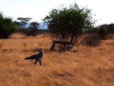 Sekretärvogel in Kenia