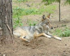File:Wolf at Braslaw national park.jpg
