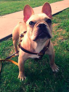 French Bulldog sweetie