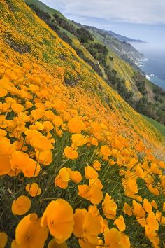 Poppies, Big Sur, California:  One of my favorite sights in spring when I drove home from Santa Cruz.  They're gone by summer.  So beautiful!!!