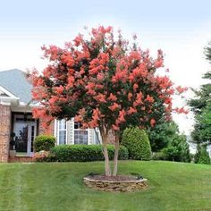 Hot Coral Pink Blooms for Months - Most crape myrtles come in shades of soft lavender and pure white. But the Tuscarora Crape Myrtle breaks the mold with a special shade of deep coral pink. This pretty tree grows quickly and without much fuss. Its mo Front Yard Landscaping, Backyard Landscaping, Landscaping Ideas, Crepe Myrtle Landscaping, Crepe Myrtle Trees, Trees For Front Yard, Front Yard Design, Porch Designs, Gardens