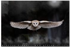 Photograph Barn Owl in an old cemetary by Johnny Krüger on 500px