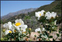 matilija poppy -- looks like Sespe Canyon