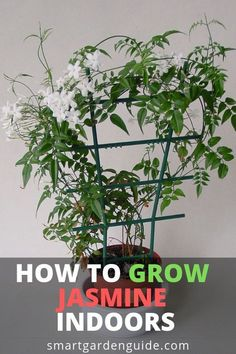 How to grow jasmine indoors. Read my article on jasmine plant care at smartgarde… - House Plants Jasmine Plant Indoor, Indoor Water Garden, Indoor Plants, Pot Plants, Indoor Flowers, Indoor Gardening Supplies, Gardening Tips, Container Gardening, Herb Container