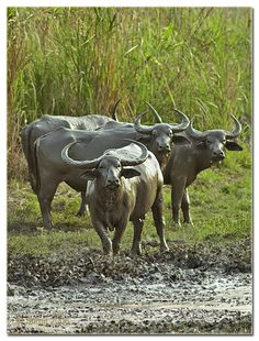 Wild Water Buffalo, Kaziranga, Assam    Photo Credit: Sumit Sen