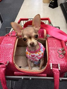 What a cutie pie! Chihuahua #chihuahua Shih Tzu Hund, Cute Puppies, Cute Dogs, Chihuahua Love, Teacup Chihuahua Puppies, Chihuahua Clothes, Little Dogs, Beautiful Dogs, Cute Baby Animals