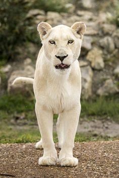White Lioness / Colin Langford