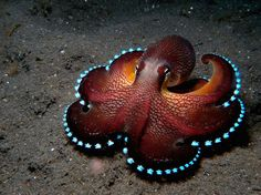 Funny pictures about Bioluminescent Octopus. Oh, and cool pics about Bioluminescent Octopus. Also, Bioluminescent Octopus photos. Beautiful Sea Creatures, Deep Sea Creatures, Pictures Of Sea Creatures, Funny Animal Pictures, Funny Animals, Coconut Octopus, Ocean Life, Marine Life, Under The Sea