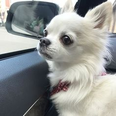 I'm enjoying the ride through the Chi town! White Chihuahua, Chihuahua Love, Chihuahua Puppies, Cute Puppies, Dogs And Puppies, Baby Dogs, Pet Dogs, Dog Cat, Doggies