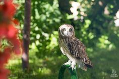 Short-eared Owl by Elena S on 500px