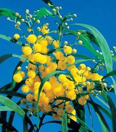 #Mimosa des 4 saisons