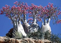 Socotra Cucumber Tree in the Galapagos #islands
