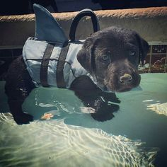 Black Labrador Retriever Puppy...Love the little shark fin on the life vest! #LabradorRetriever