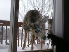 We have deer in the garden and a cat too. The cat sometimes tries to 'hunt' the deer. but only up to the point when the deer start ganging up on him. Animals And Pets, Baby Animals, Funny Animals, Cute Animals, Funny Cats, Wild Animals, Funny Deer, Nature Animals, Beautiful Creatures