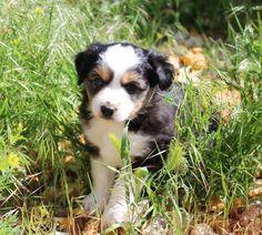 Honey Lake Mini Aussie Puppy~Black Tri with Blue eye www.honeylakeminiaussies.com Mini Aussie Shepherd, Mini Aussie Puppy, Toy Aussie, Mini Australian Shepherds, Aussie Puppies, Dogs And Puppies, Make Me Smile, Aussies, Honey