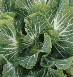 Follow this handy How to Grow Kale and Collards from Seeds Guide and grow healthy food.! Perfect for juicing and long lasting tasty green that stores well.