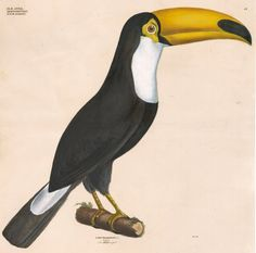19th-C. Hand-Colored Toco Toucan