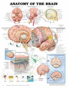 The brain anatomy chart shows the cerebral hemispheres, lobes of the brain, and various views of the arteries of the brain. Description from physiostuff.com. I searched for this on bing.com/images